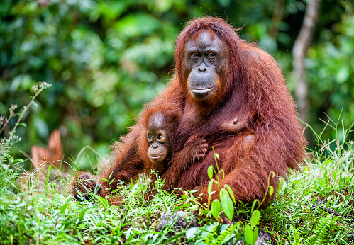Female of the orangutan with a cub in native habitat. 507715206