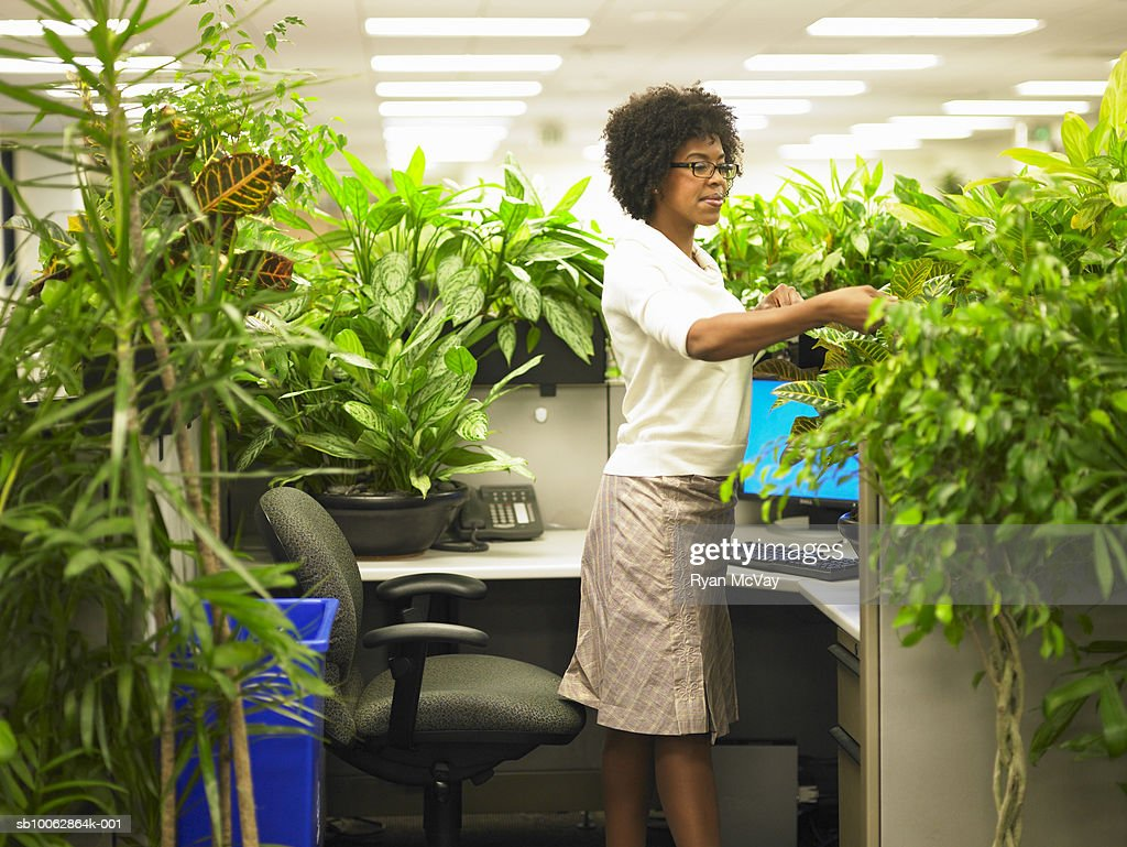 plants for office cubicle. Female Office Worker Tends To Plants That Surround By Cubicle : Stock Photo For T