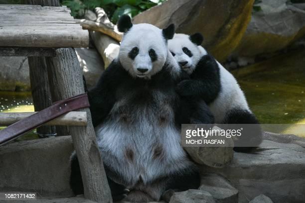 A female oneyearold panda cub hugs her mother Liang Liang during her first birthday party at Malaysia's national zoo in Kuala Lumpur on January 14...
