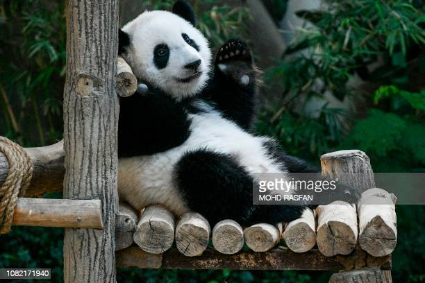 A female oneyearold panda cub raises her paw during its first birthday party at Malaysia's national zoo in Kuala Lumpur on January 14 2019 The second...