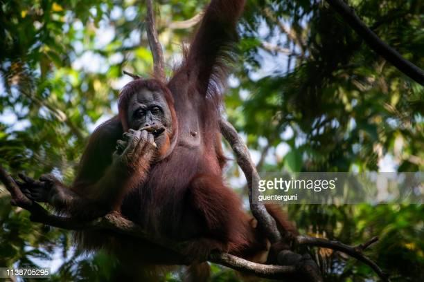 Female Orang Utan feeding in a tree the rainforest, wildlife shot