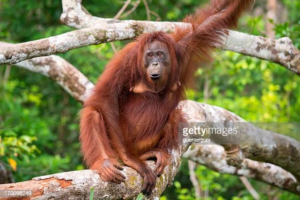 Hembra Orang Utan Descanse sobre un árbol; Toma de Vida Silvestre