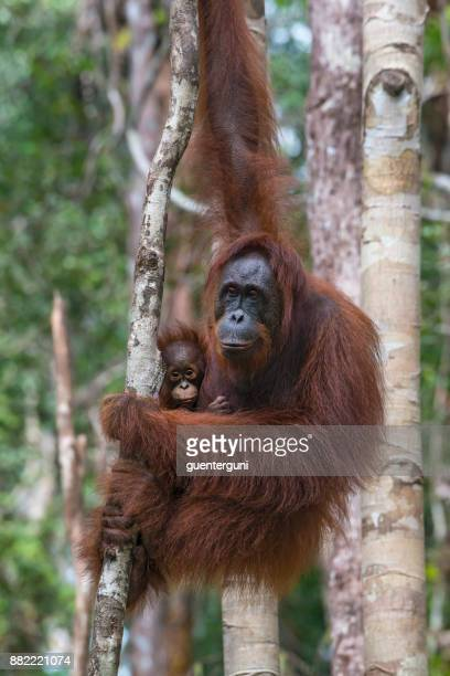 female orang utan with baby in a tree, wildlife shot - defending stock photos and pictures