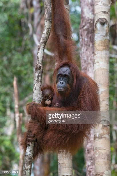 orangután hembra con el bebé en un árbol, vida silvestre tiro - especies amenazadas fotografías e imágenes de stock