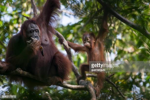 Orangután hembra con el bebé en un árbol, vida silvestre tiro