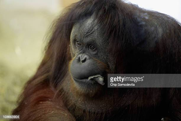 Female orangutan Bonnie 33 years old chews on a piece of fabric at the Think Tank exhibit in the Smithsonian National Zoological Park August 27 2010...