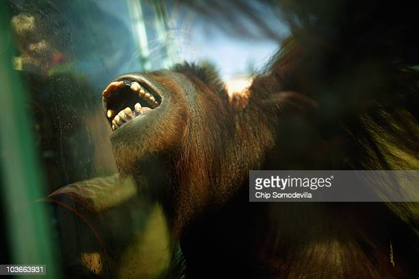 Female orangutan Bonnie 33 years old opens her mouth toward a jet of sprayed water at the Think Tank exhibit in the Smithsonian National Zoological...