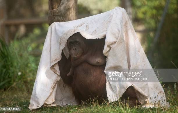 A female orangutan covers her head with a sheet on a warm summer day at Madrid´s zoo on August 4 2018 Europe sweltered in intense heat with...