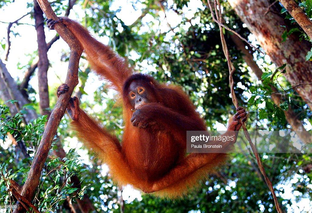 Tanjung Puting National Park in Kalimantan, Indonesia : News Photo