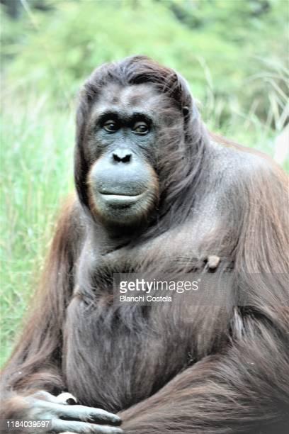 female orangutan - female animal stock pictures, royalty-free photos & images
