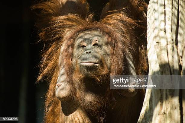 female orangutan (pongo pygmaeus) - female hairy arms stock photos and pictures
