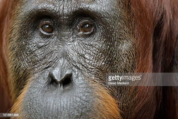 Female Orangutan (Pongo pygmaeus) portrait