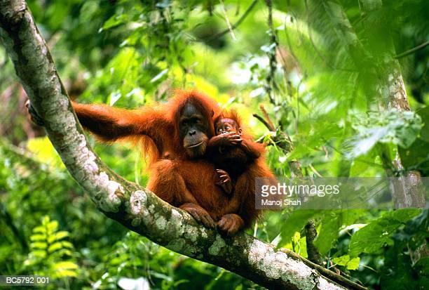 female orang-utan (pongo pygmaeus) sitting with young, indonesia - orangutan stock pictures, royalty-free photos & images