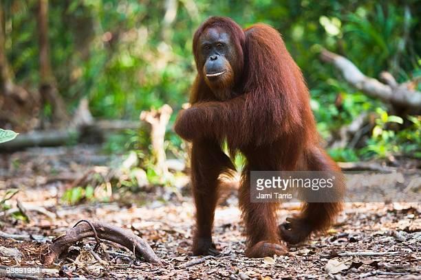 a female orangutan walking on back legs. - orangutan stock pictures, royalty-free photos & images