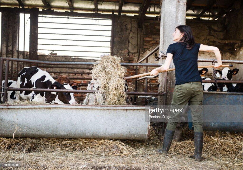 Female organic farmer feeding pitch fork of hay to calves on dairy farm : Stock Photo