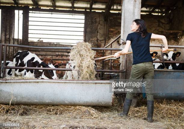 Female organic farmer feeding pitch fork of hay to calves on dairy farm