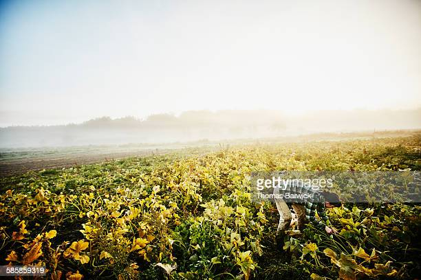 female organic farmer harvesting organic squash - organic farm stock pictures, royalty-free photos & images