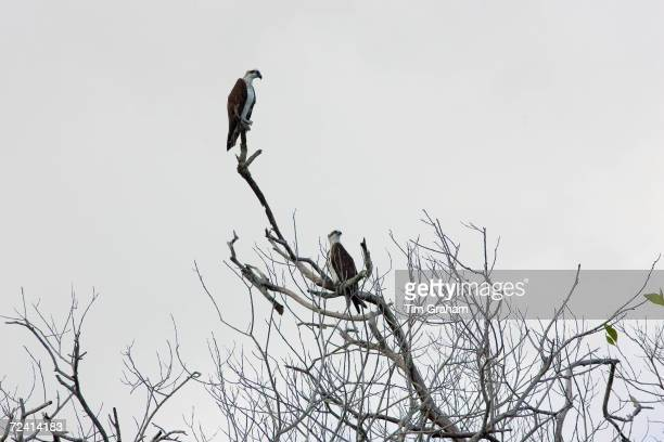 Female Osprey and juvenile perched on bare branches of tree Daintree River Queensland Australia