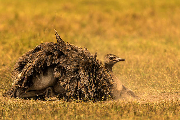 Female Ostrich Dusting On Ground Wall Art