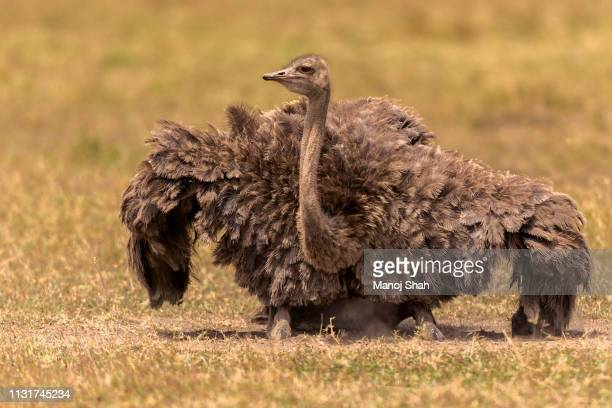 female ostrich in masai mara - mammal stock pictures, royalty-free photos & images
