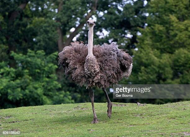 female ostrich - avestruz fotografías e imágenes de stock