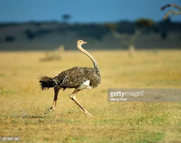 female ostrich (struthio camelus) running in grassland, kenya - avestruz fotografías e imágenes de stock