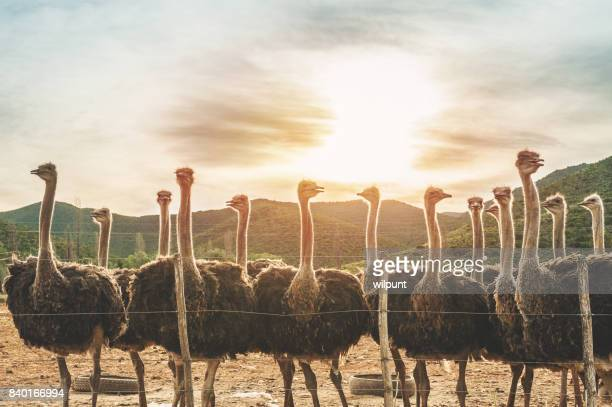 female ostriches at sunset - the karoo stock photos and pictures
