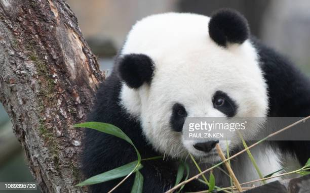 Female panda Meng Meng watches visitors at the Zoologischer Garten zoo in Berlin on December 7, 2018. / Germany OUT
