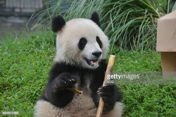 Female panda Qing Qing eats a bamboo during her twoyearold birthday celebration at the Dujiangyan base of the China Conservation and Research Center...