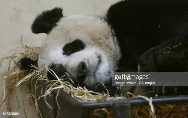 Female panda Tian Tian at Edinburgh Zoo in Scotland a keepers at Edinburgh Zoo opened a 'love tunnel' between male Yang Guang and female Tian Tian's...
