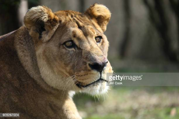 Female Panthera Leo Leo, Barbary Lion