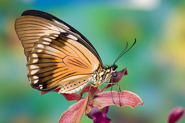 Female Papilio dardanus Butterfly on Orchid