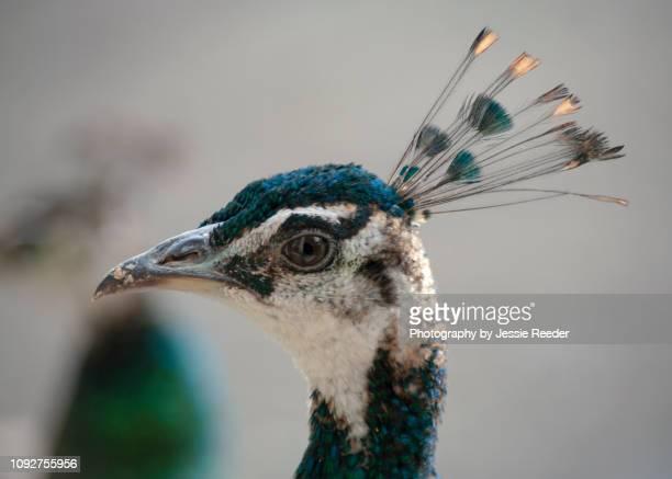 Female peacock head