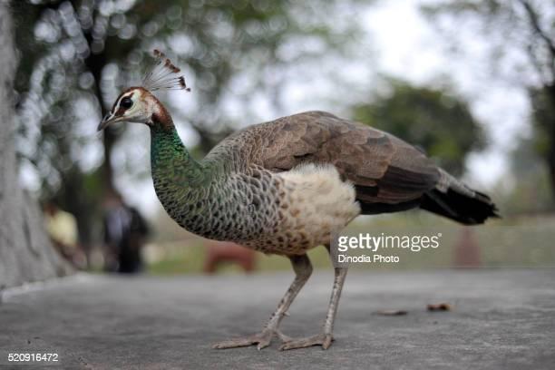 Female peacock, Khajuraho, Madhya Pradesh, India, Asia