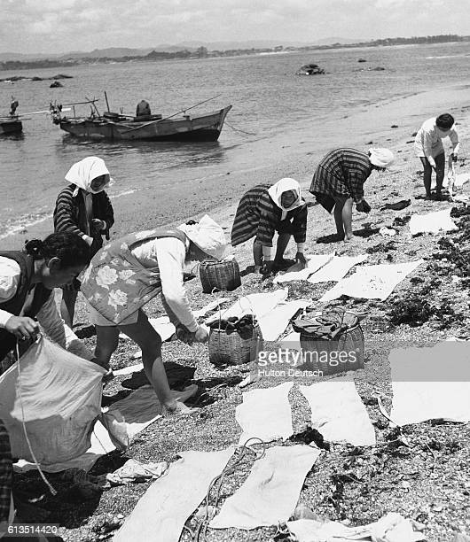 Female pearl divers at work laying out their finds on the beach at Ago Bay in Japan
