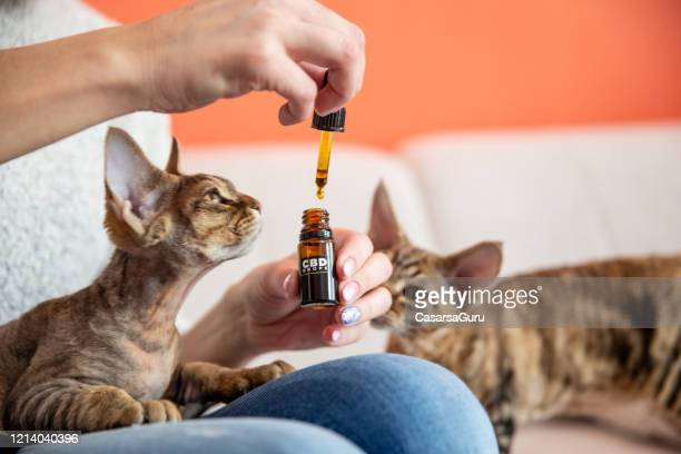 female pet owner giving her cat cbd oil drops as alternative therapy - cbd oil stock pictures, royalty-free photos & images