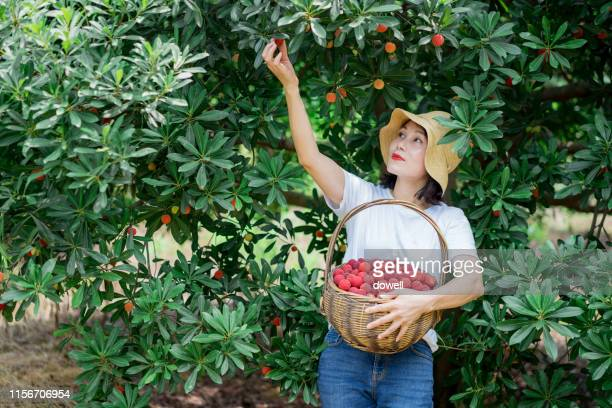 female picking red babyberry - picking stock pictures, royalty-free photos & images