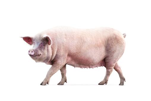 female pig isolated on white background 1143332810