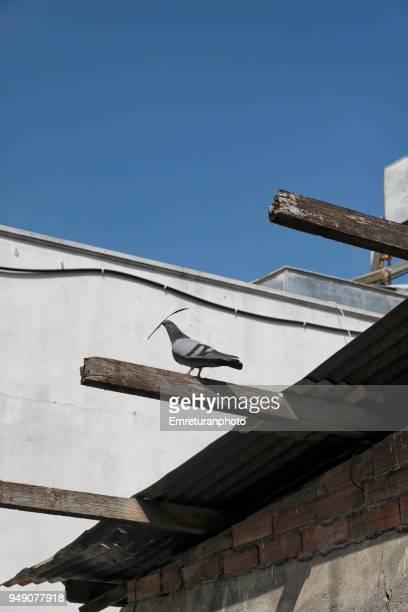 female pigeon holding a small branch in her beak for the nest. - emreturanphoto stockfoto's en -beelden