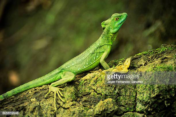 A female plumed basilisk on alert on a branch next to the water. Basiliscus plumifrons. Costa Rica.