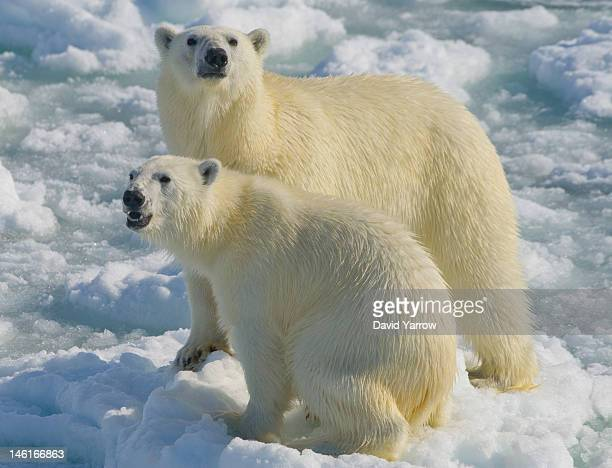 Female polar bear and her two year old cub venture close to a visiting boat over the moving ice flow on June 6, 2012 in Vaigattfjellet, North...