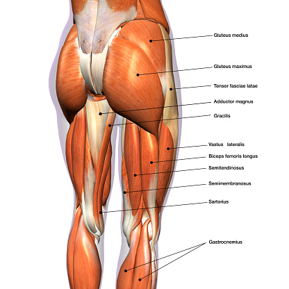 Female Posterior Leg Muscles Labeled on White 900870078