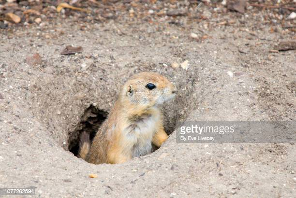 female prairie dog - prairie dog stock pictures, royalty-free photos & images