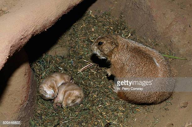 Female Prairie Dog with Pups
