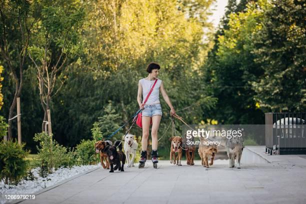 caminante de perros profesional femenino con perros en el parque - grupo mediano de animales fotografías e imágenes de stock
