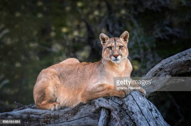 female puma found in torres del paine national park - chile stock pictures, royalty-free photos & images