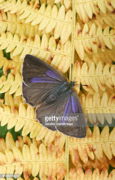 a female purple hairstreak butterfly (favonius quercus) perched on bracken. - hertford hertfordshire stock pictures, royalty-free photos & images
