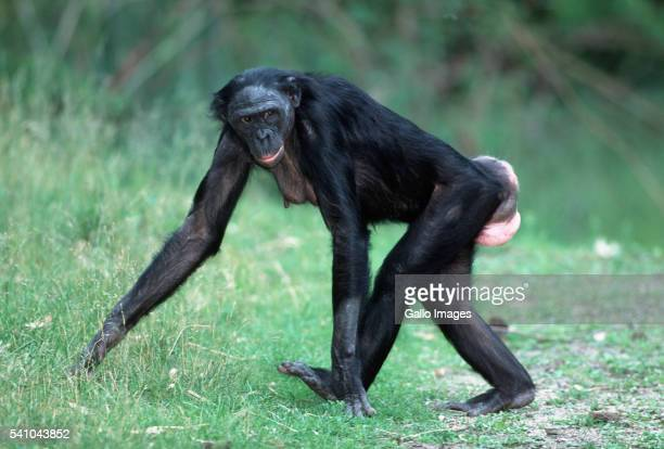 female pygmy chimpanzee quadrupedal knuckle walking - female animal stock pictures, royalty-free photos & images