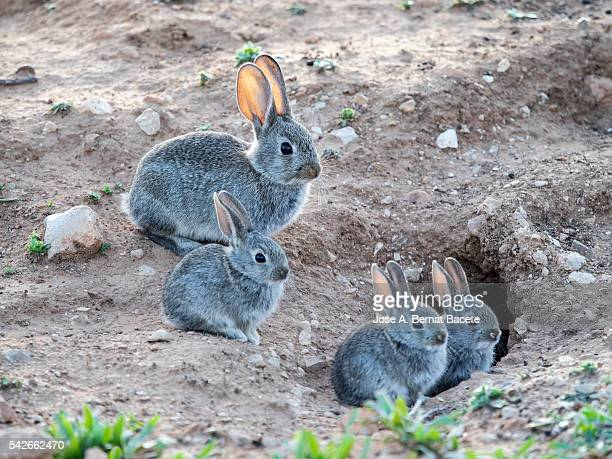 Female rabbit caring for their bunnies with his burrow ( Species Oryctolagus cuniculus.)