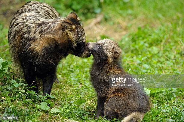 Female raccoon dog with offspring